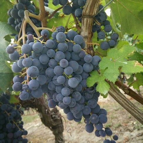 Meno di un mese e si danza . . #dolcetto #dianodalba #harvest2015  #wine #instalanghetti #igerslanghe #ig_piemonte #ig_cuneo #nofilter #grape #unesco #langhe #langheunesco #fratelliaimasso