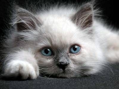 Beautiful cat   ❤ Upload you cat pictures at www.showmecats.com ❤  #showmecats #thebeauty