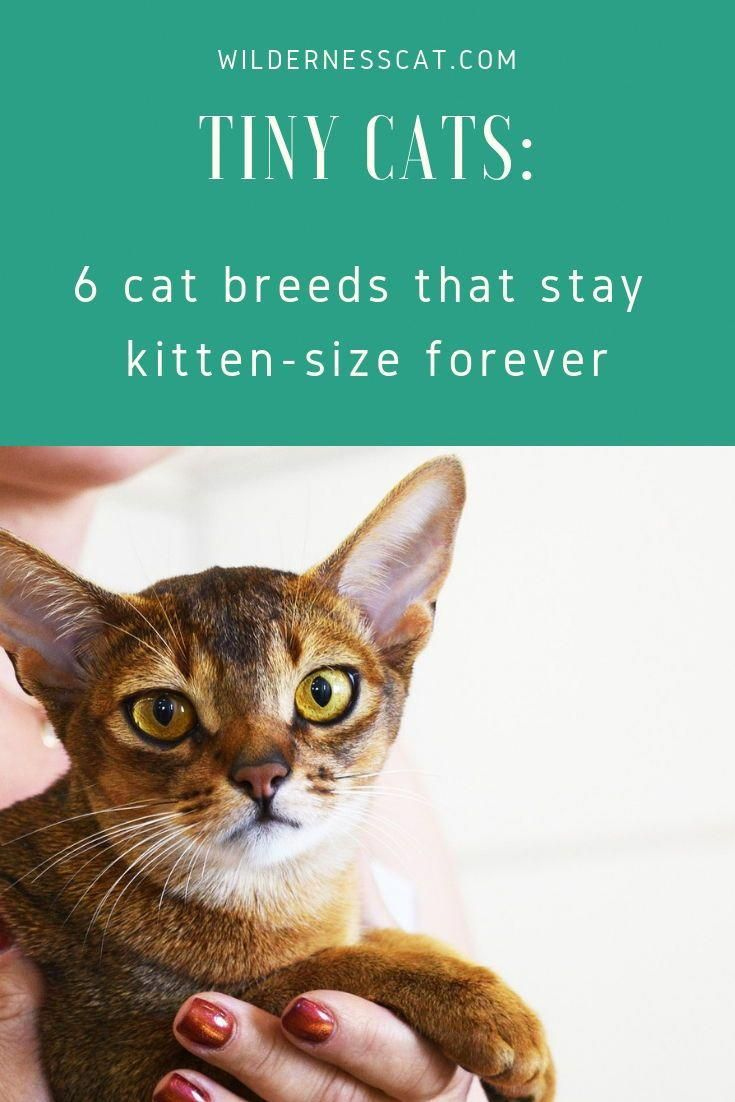 Love Tiny Cats Here Are Six Cat Breeds That Stay Around The Size Of A Kitten Forever Cats Kittens Bestcatbreeds Cat Breeds Small Cat Breeds Tiny Cats