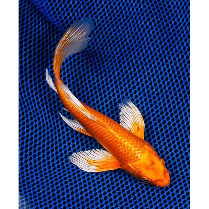 91 best images about butterfly koi on pinterest search for Blue and orange koi fish