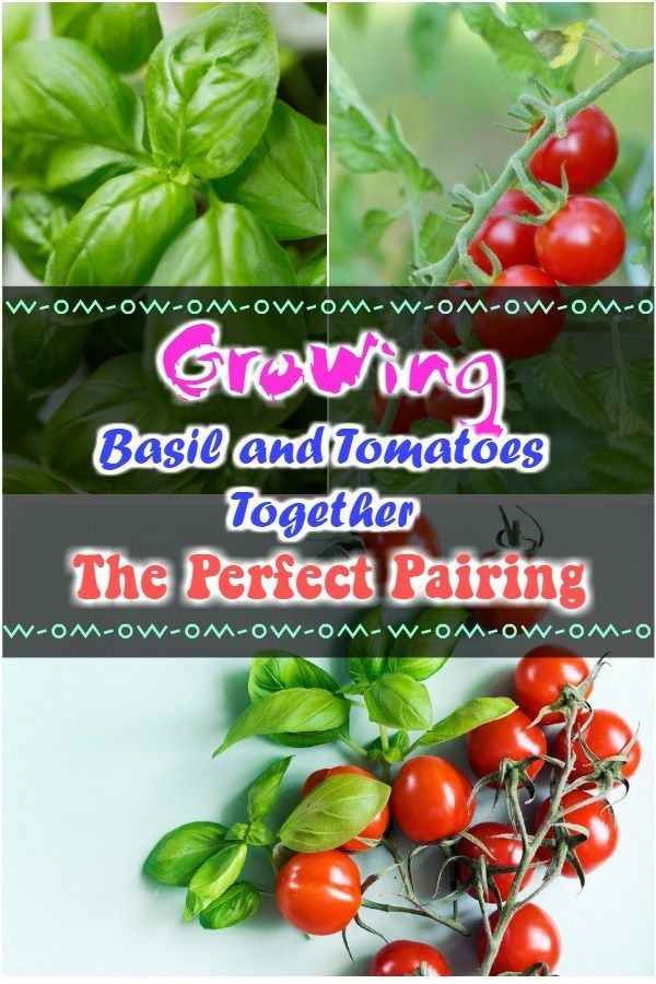 Growing Basil And Tomatoes Together The Perfect Pairing Growing