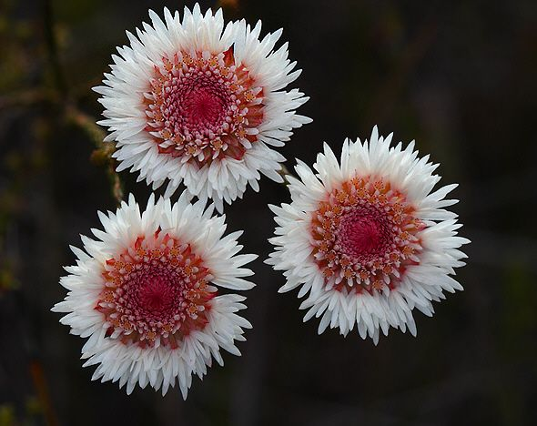 Albany Daisy Actinodium calocephalum (Myrtaceae) Australia's Stirling Range