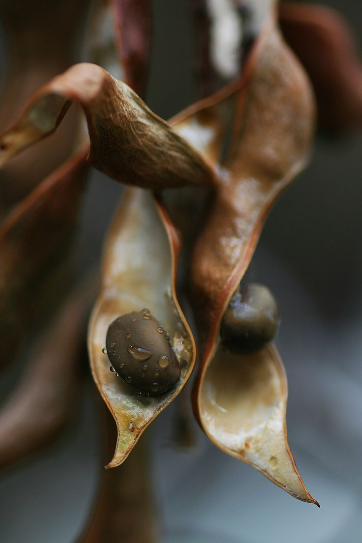 Dried Milkweed Pods