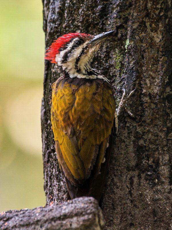 Burung Pelatuk Besi Jantan Woodpecker Bird Animals