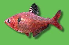 AQUARIUM GUIDE - Fische - Südamerika - Salmler - Blutsalmler - Hyphessobrycon eques