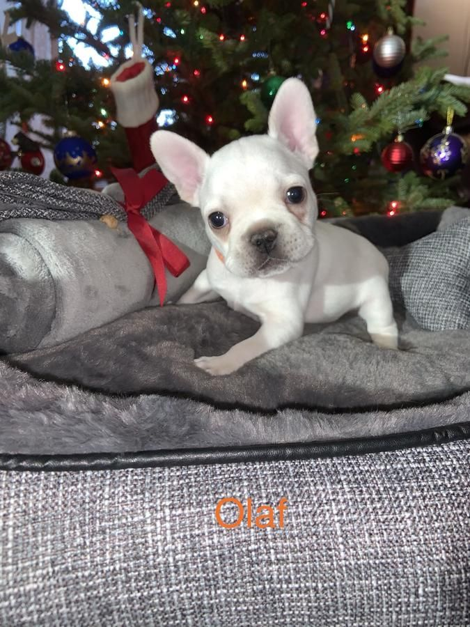 Olaf Snowy White Frenchie Puppy Frenchieforsale Frenchie4sale Frenchbulldogforsale Frenchbulldog Frenchiebu Frenchie Puppy Puppies French Bulldog Puppies