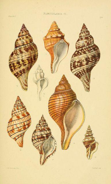 Thesaurus conchyliorum, or, Monographs of genera of shells v.5 plates.  London :Sowerby ...,1847-1887.  biodiversitylibrary.org/item/54562