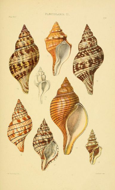 Tulip shells #nature #shells #scientific #illustration