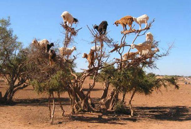 Goat Tree?