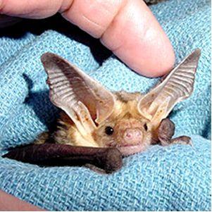 Microbat Presentation - BATs - Chauve-souris