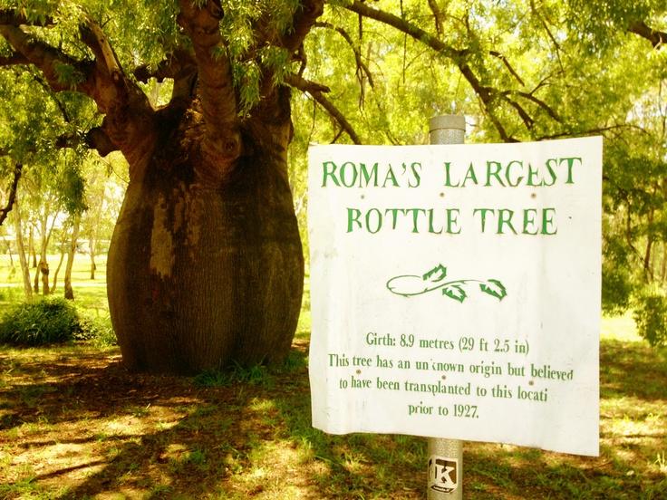 Roma's Largest Bottle Tree http://wheninroma.com.au/news/29/83/The-Largest-Bottle-Tree/d,community_guide/