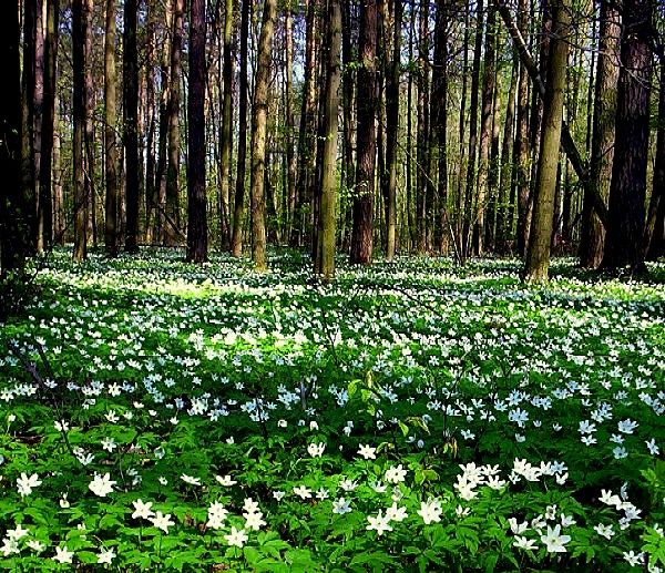 Swedish spring Vitsippor.