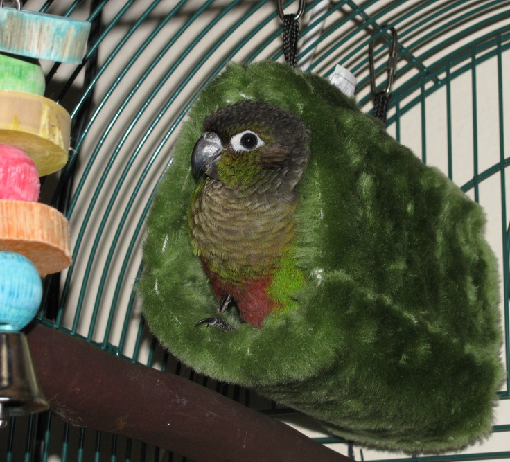 Green Cheek Conure.  They really are this cuddly!