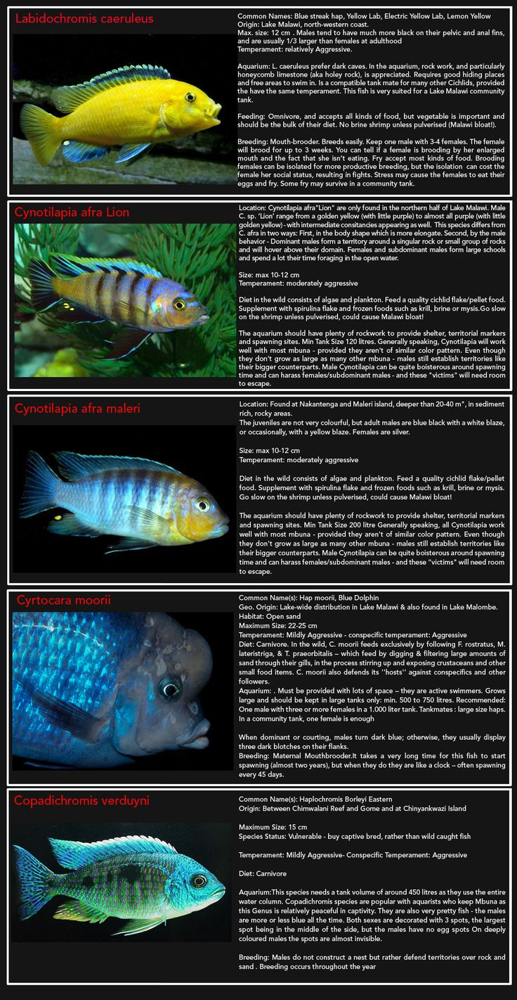 89 best Cichlids images on Pinterest African cichlids Tropical