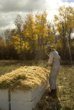 Heaping straw atop hives for over-wintering.