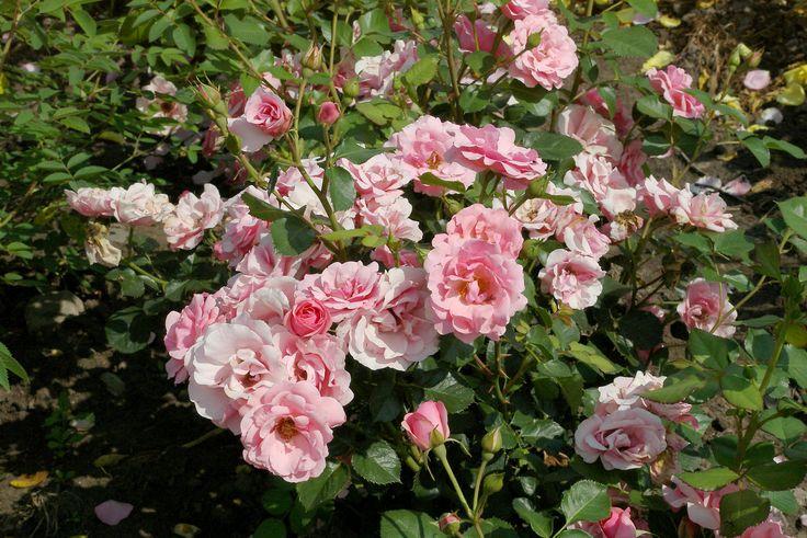 Egeskov. Väldigt snygg, halvfyllda blommor, doftande. 0,6-0,8 m.
