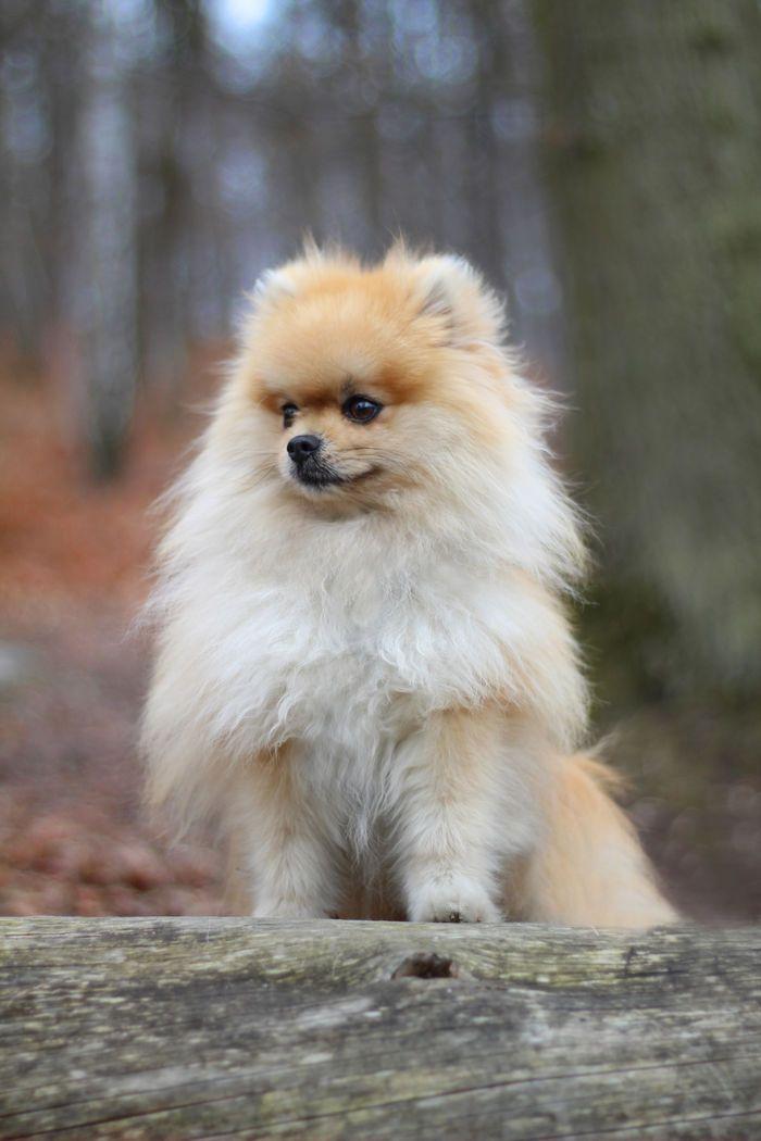 German Spitz (Pomeranian)