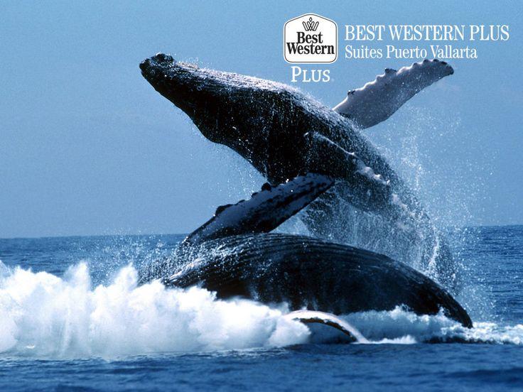 EL MEJOR HOTEL DE PUERTO VALLARTA. De diciembre a marzo de cada año, las ballenas jorobadas visitan Puerto Vallarta. Esto se debe a que las aguas de estas playas, cuentan con las características ideales que necesitan estos cetáceos durante su período reproductivo. En Best Western Plus Suites Morelia, le invitamos a disfrutar de este impresionante espectáculo natural. http://www.bestwesternplusvallarta.com.mxle