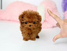 teacup poodles puppies for sale - Google Search
