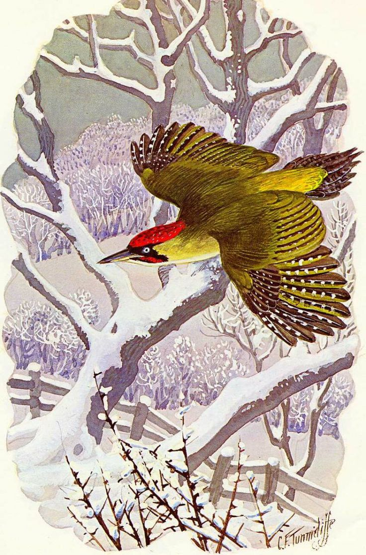 Green Woodpecker ~ Charles F Tunnicliffe