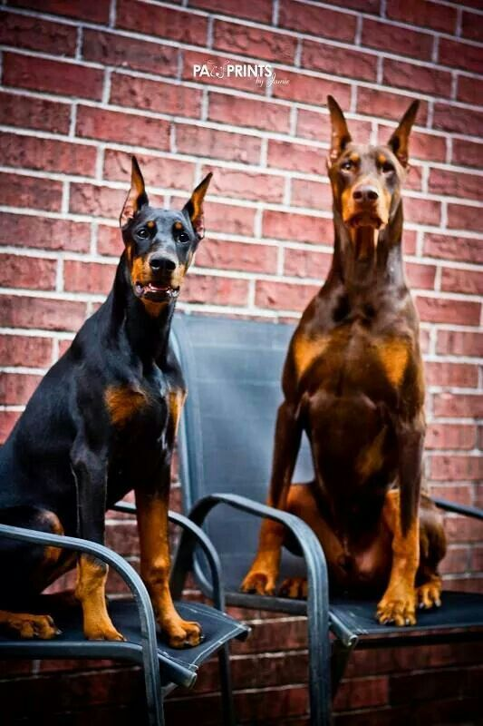 """Where's the bus?"" #dogs #pets #DobermanPinschers"