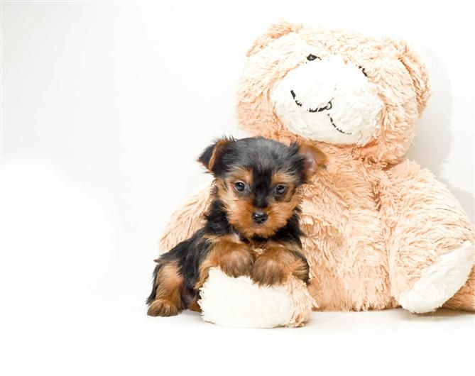 teacup yorkie puppies for sale in ohio 1000 ideas about local puppies for sale on pinterest 7871