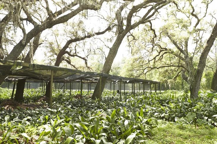 What Plants Grow Under Live Oak Trees : Aspidistra or cast iron plant growing under live oak