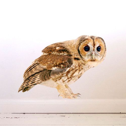 Tawny Owl Wall Decal by #JuneFoxStudio on Etsy