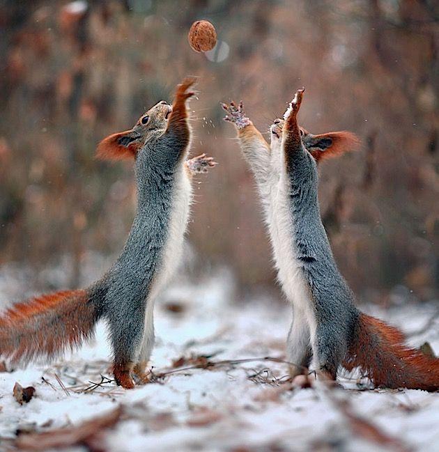 Ich bin ganz doll verliebt! Zwei zuckersüße Eichhörnchen können wir auf diesen Bildern dabei beobachten, wie sie sich gegenseitig im tiefsten Winter fotografieren, freudig einen perfekten Schneemann bauen und anschließend eine ausgelassene Runde Volleyball spielen. Reinste Idylle!Möchte uns der russische Naturfotograf Vadim Trunov zumindest glauben lassen. Eigentlich sehen wir hier ...