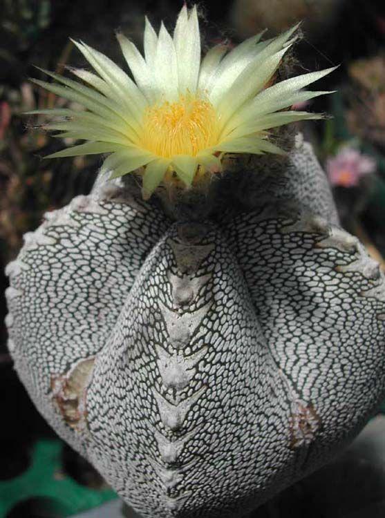 Astrophytum: Flore, Succulents Cactus, Cactus Succulents, Succulent Gardens, Desert Beautiful, Cactacea, Plants Gardens, Cacti Succulents