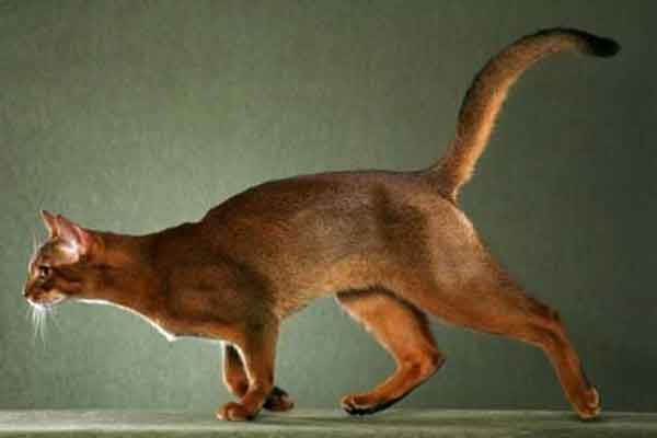 Kucing Abyssinian - http://kucingraas.co.id/kucing-abyssinian/