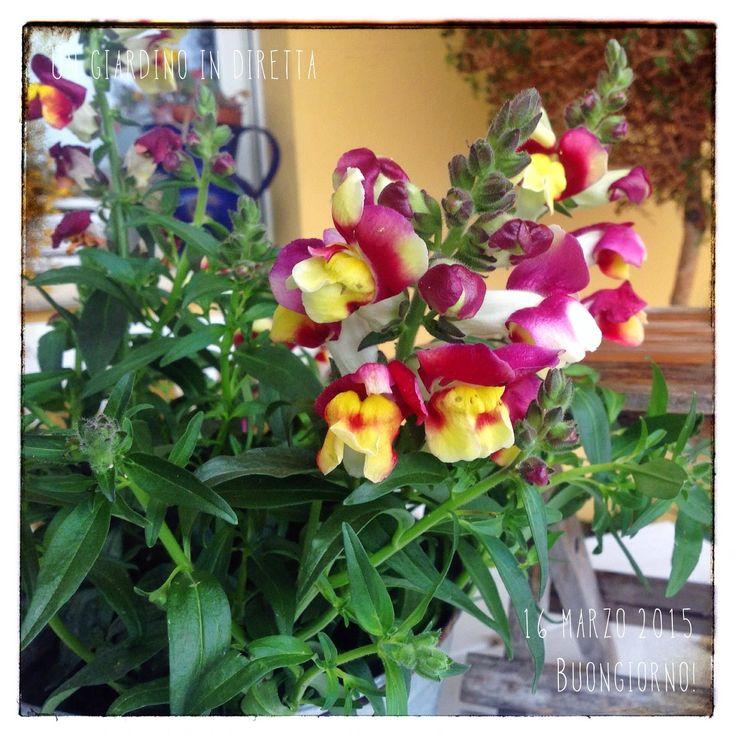 Bocca di leone (Antirrhinum majus), buongiorno giardineri!