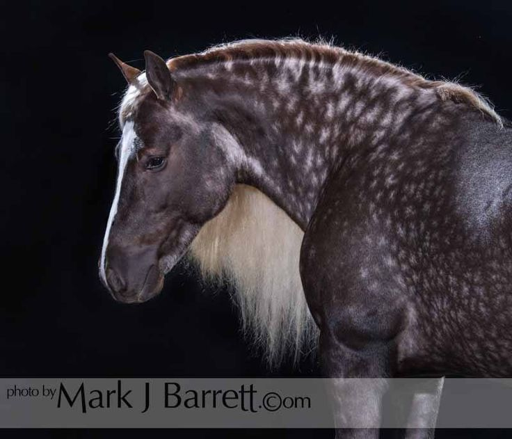 GVH stallion SILVER SAMURAI owned by Karen Fitzgerald. Those star dapples...WOW. He's gorgeous!