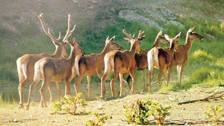 Gazete Duvar ///  Bir çift geyik 5 bin geyik oldu