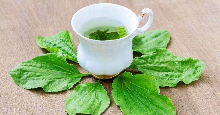 Le plantain pour premiers soins et effets anti-inflammatoires