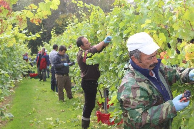 The Bolney Estate in Sussex began its Pinot Noir harvest at the end of last week