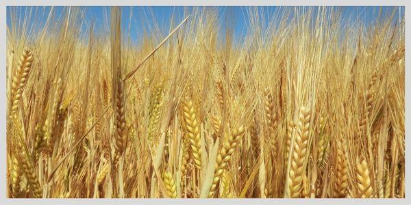 Neues aus der Landwirtschaft: DMK Schadensersatzklage, Entstehung des weltweit…