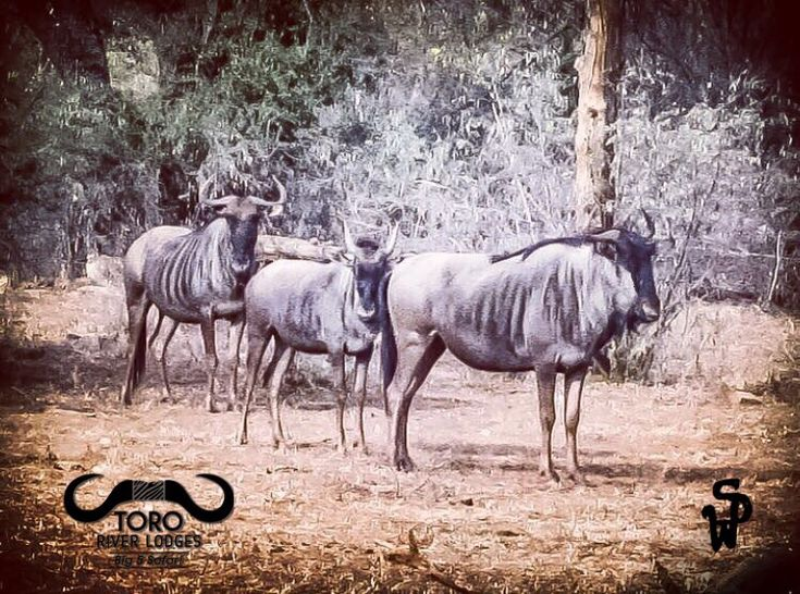Fact of the Day: The Great Wildebeest Migration refers to the massive anual movement of a vast number of wildebeest, over 1.5 million, searching for food and water between Tanzania and Kenya.  While on many documentaries, the migration may seem like quite the chaotic frenzy, research has now shown that a herd of wildebeest possesses 'swarm intelligence', this means the wildebeest systematically explore and overcome an obstacle as one. They succeed as a herd through trial and error together.