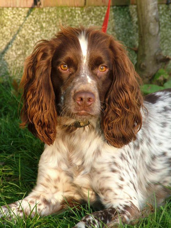 how to train a cocker spaniel to hunt