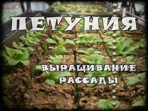 Выращивание рассады петунии из семян. Часть 2 - YouTube