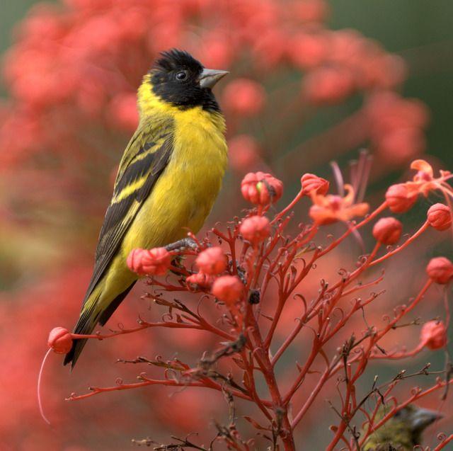 Foto pintassilgo (Sporagra magellanica) por Ricardo Gentil | Wiki Aves - A Enciclopédia das Aves do Brasil