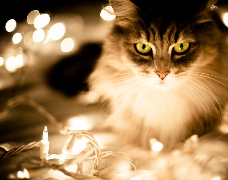 152 best Christmas Cats images on Pinterest   Animals, Cats and ...