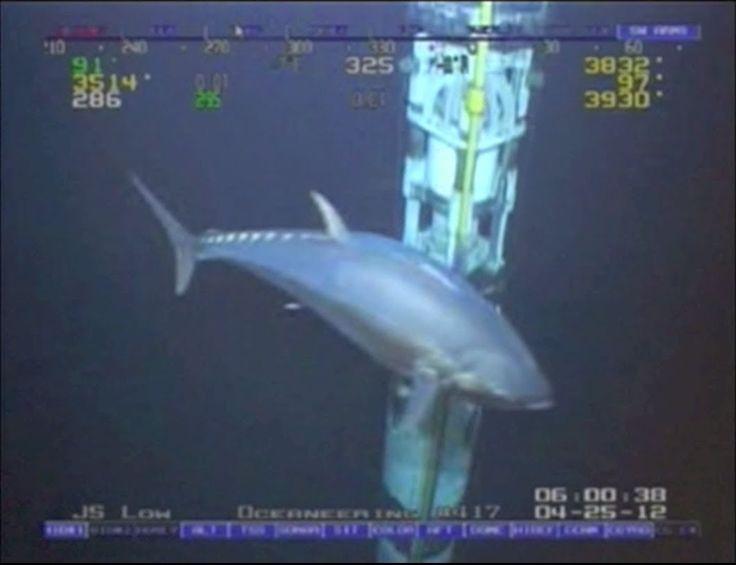 WORLD RECORD FISH!!! 18ft Tuna!  ROV Deepwater Footage Bluefin Yellowfin...