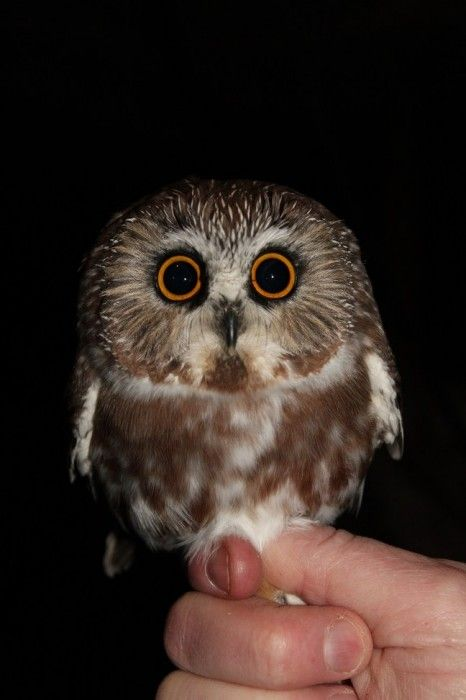 17 Best Images About Saw Whet Owl On Pinterest Birds To