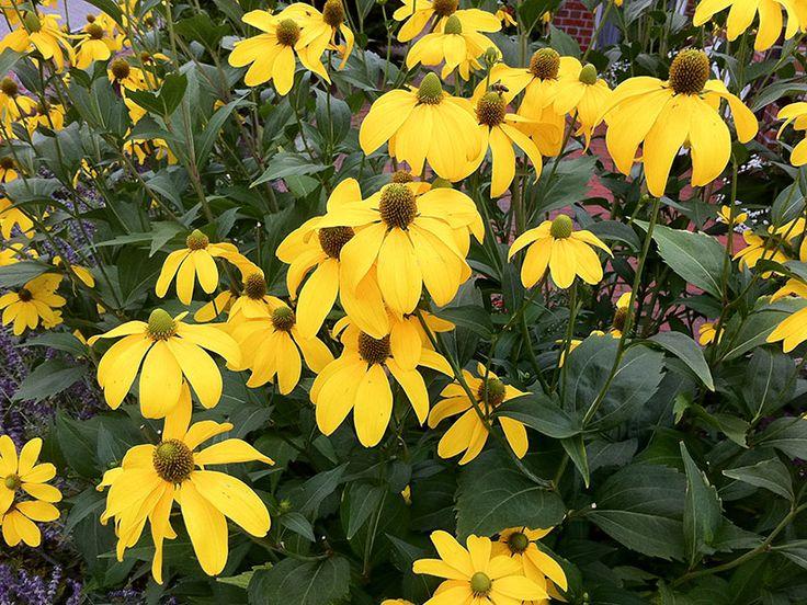 Fallschirm-Sonnenhut Staude Rudbeckia nitida Pflanze Hoher Sonnenhut Blume Glänzender Sonnenhut Pflege Schnitt Vermehrung Standort