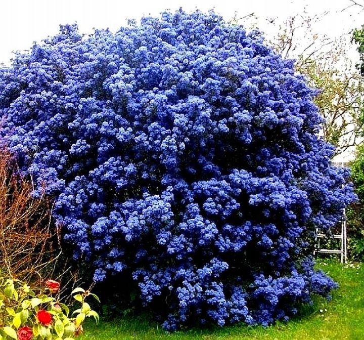 Niebieski Zimozielony Prusznik Victoria Sadzonki Gorgeous Gardens Garden Trellis Plants