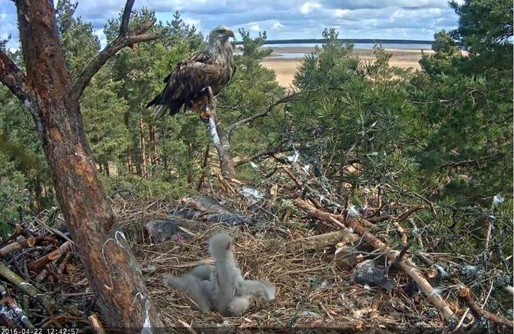 Orel mořský webkamera z hnízda. Sea Eagle webcam live