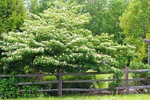 Pagoda Dogwood, A Truly Elegant Garden Tree on http://www.hortmag.com