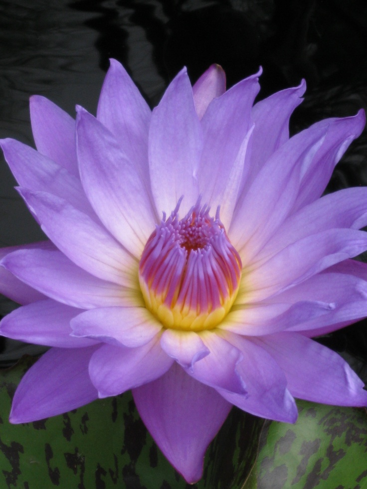 how to grow blue water lily from seed