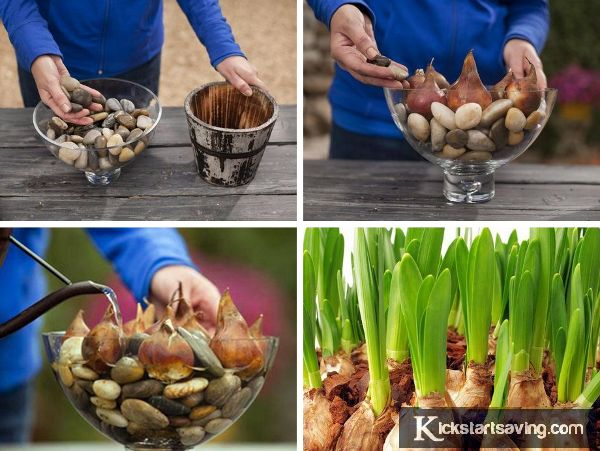 how to grow bulbs indoors in water